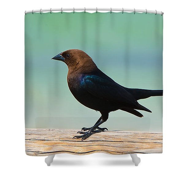 Brown-headed Cowbird Shower Curtain
