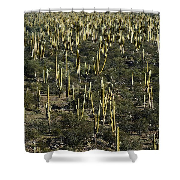 Cardon Cacti In Mexico Shower Curtain