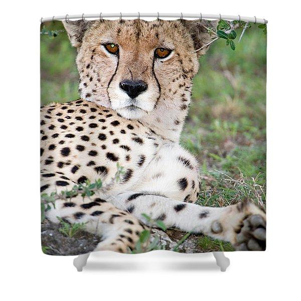 Cheetah Acinonyx Jubatus Resting Shower Curtain