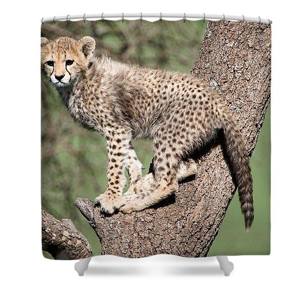 Cheetah Cub Acinonyx Jubatus Climbing Shower Curtain