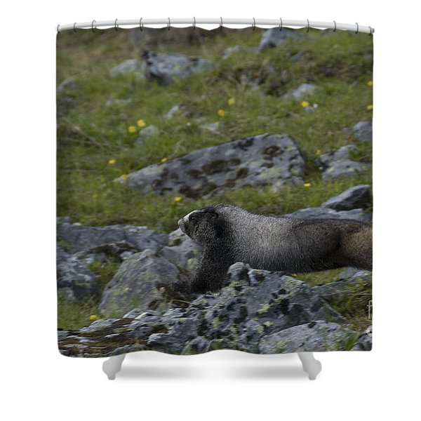 Hoary Marmot Shower Curtain