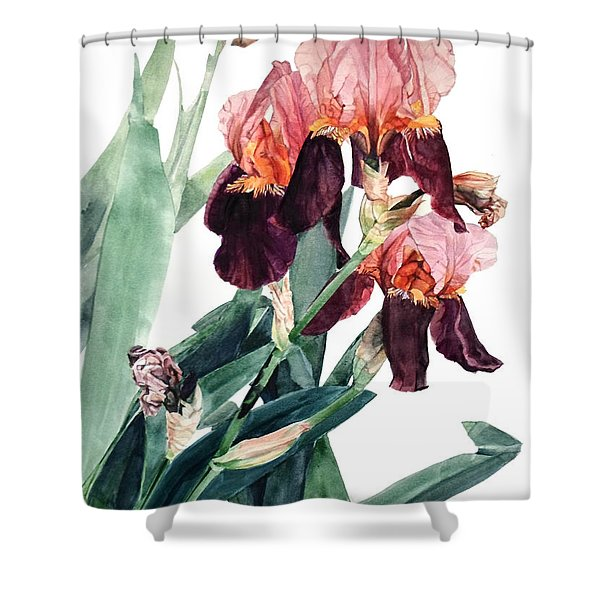 Watercolor Of A Pink And Maroon Tall Bearded Iris I Call Iris La Forza Del Destino Shower Curtain