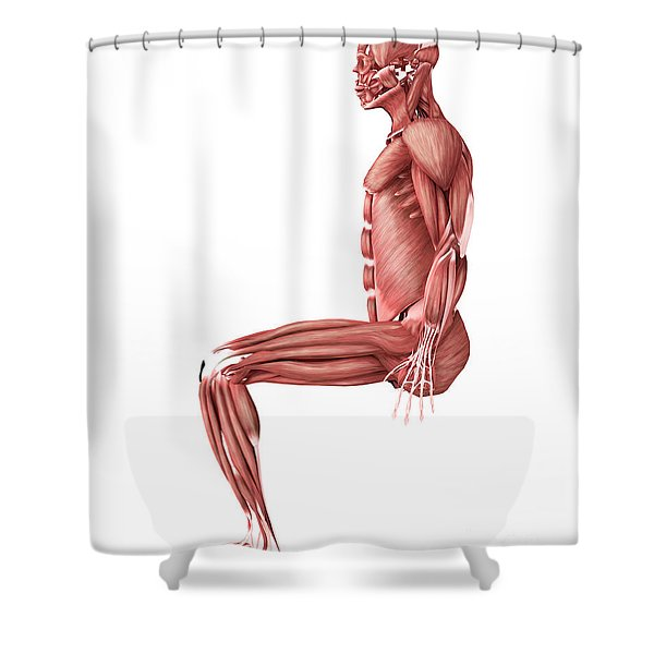 Medical Illustration Of Male Muscles Shower Curtain