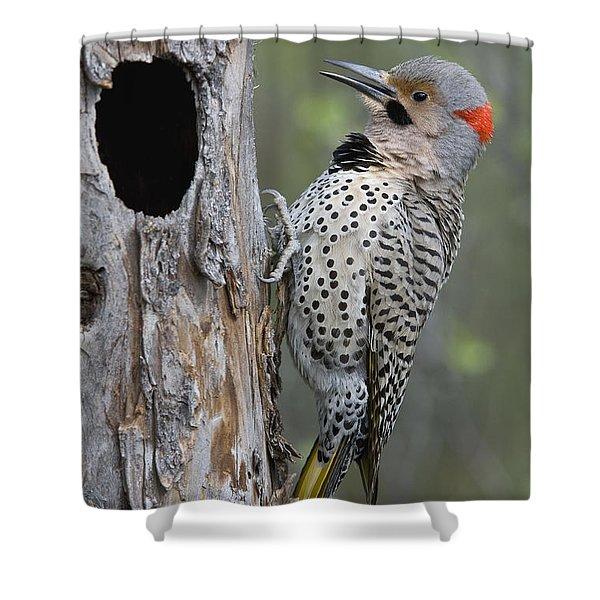Northern Flicker At Nest Cavity Alaska Shower Curtain
