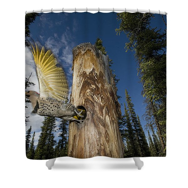Northern Flicker Leaving Nest Cavity Shower Curtain