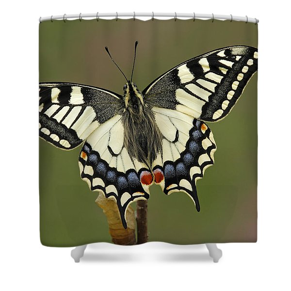 Oldworld Swallowtail Butterfly Shower Curtain