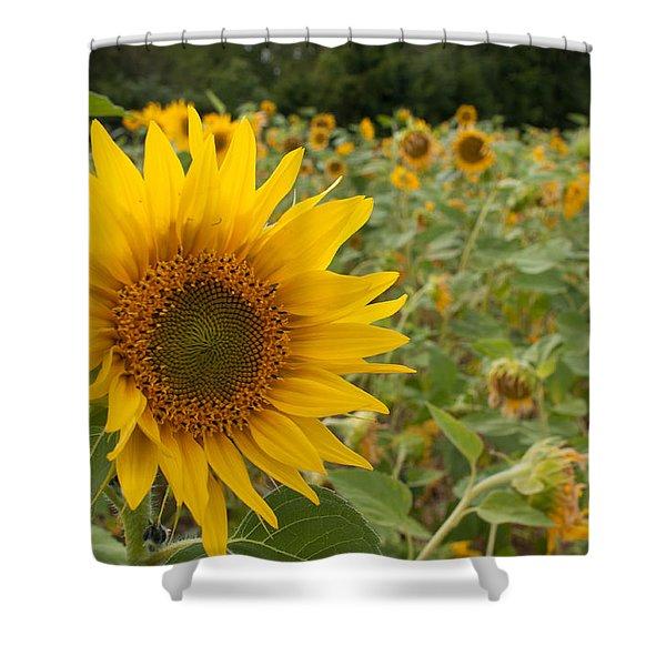 Sun Flower Fields Shower Curtain