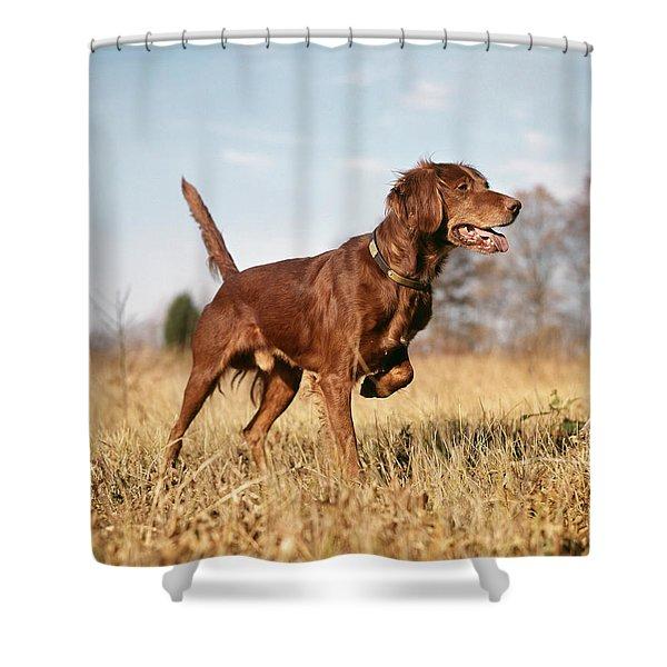 1960s Irish Setter Hunting Dog On Point Shower Curtain