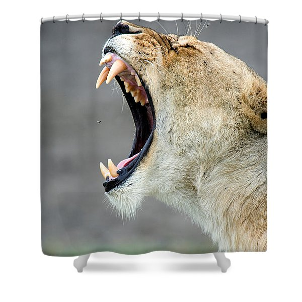 Close-up Of A Lioness Panthera Leo Shower Curtain
