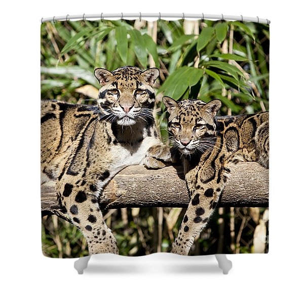 Shower Curtain featuring the photograph Clouded Leopards by Brian Jannsen