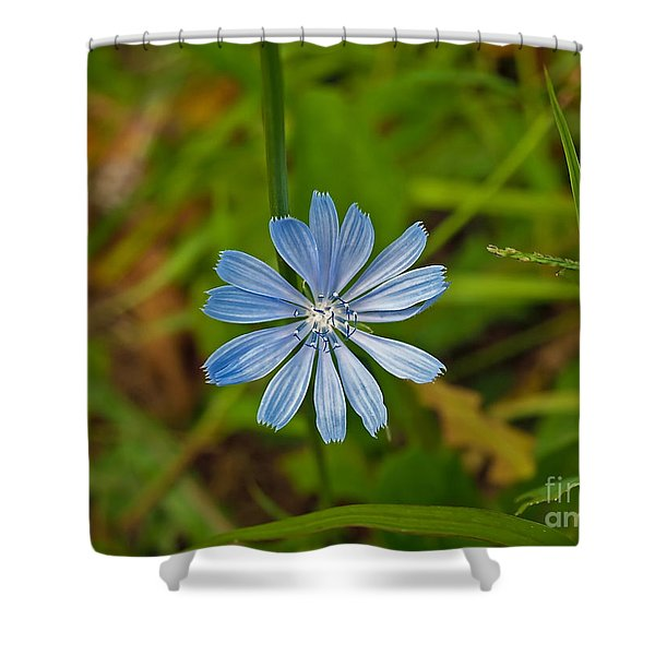 Blue Chicory Flower  Shower Curtain