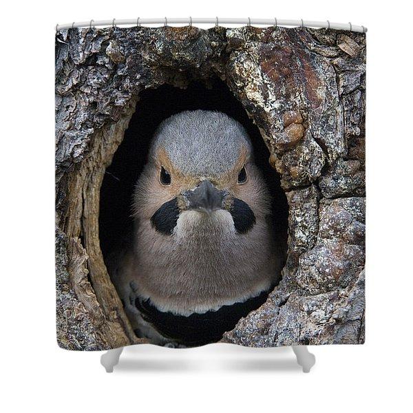 Northern Flicker In Nest Cavity Alaska Shower Curtain