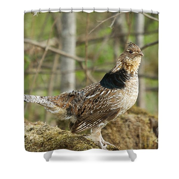 Ruffed Grouse Courtship Display Shower Curtain