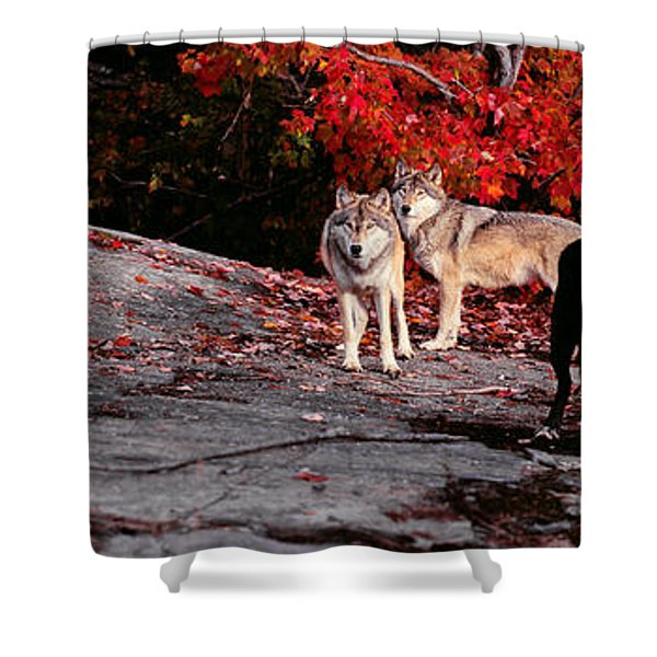 Timber Wolves Under A Red Maple Tree - Pano Shower Curtain