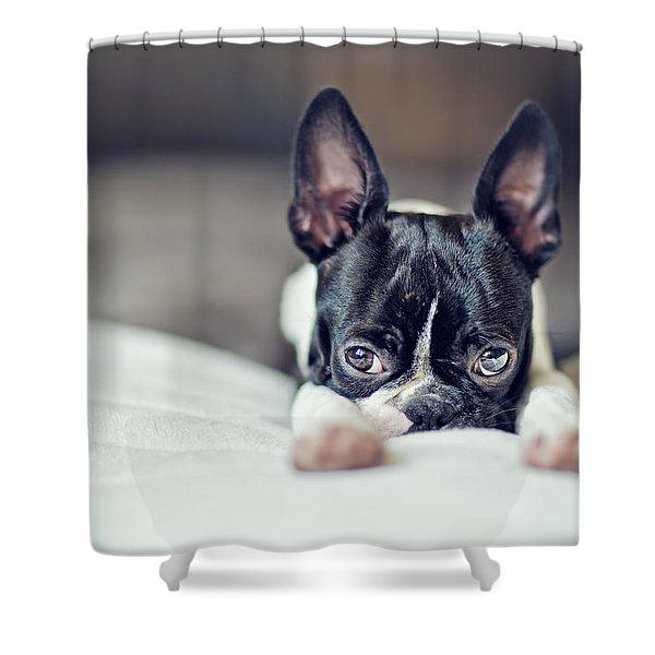 Boston Terrier Puppy Shower Curtain