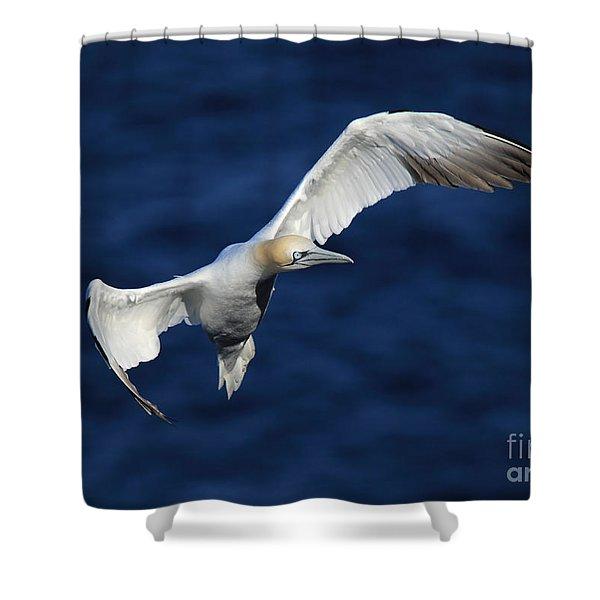 Northern Gannet In Flight Shower Curtain