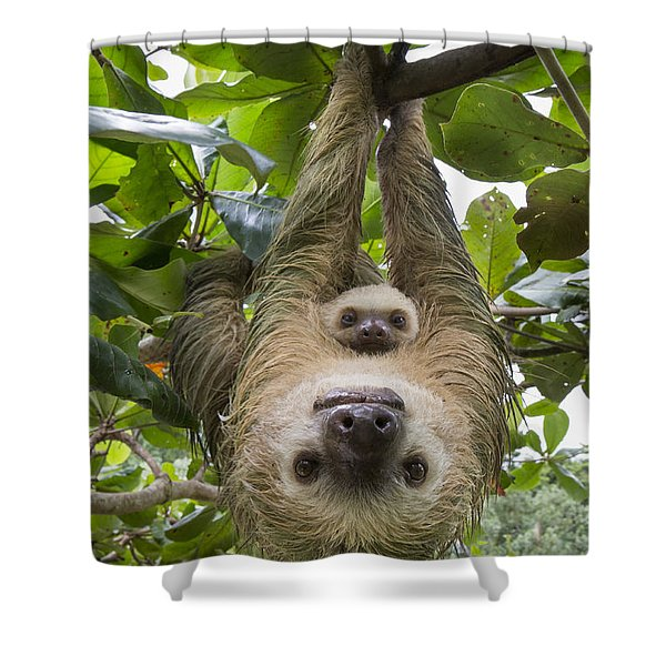 Hoffmanns Two-toed Sloth And Old Baby Shower Curtain