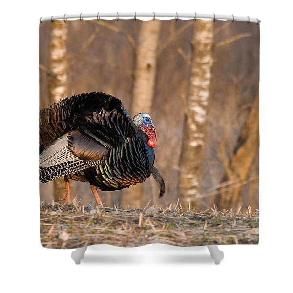 Male Eastern Wild Turkey Shower Curtain