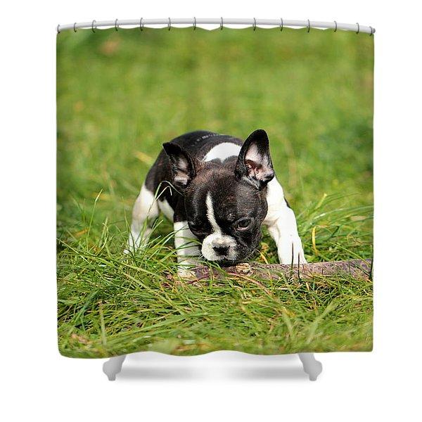 French Bulldoggs Shower Curtain