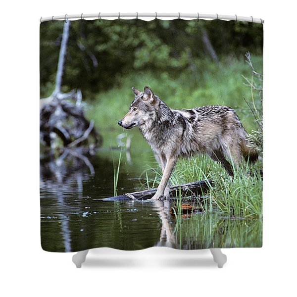 Adult Gray Timber Wolf Canis Lupus Shower Curtain