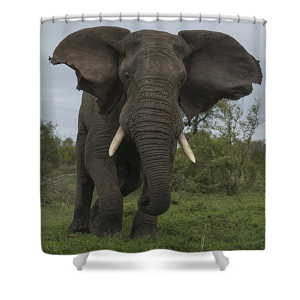African Elephant Charging Sabi-sands Shower Curtain