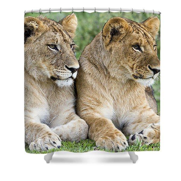 African Lion Juveniles Serengeti Np Shower Curtain