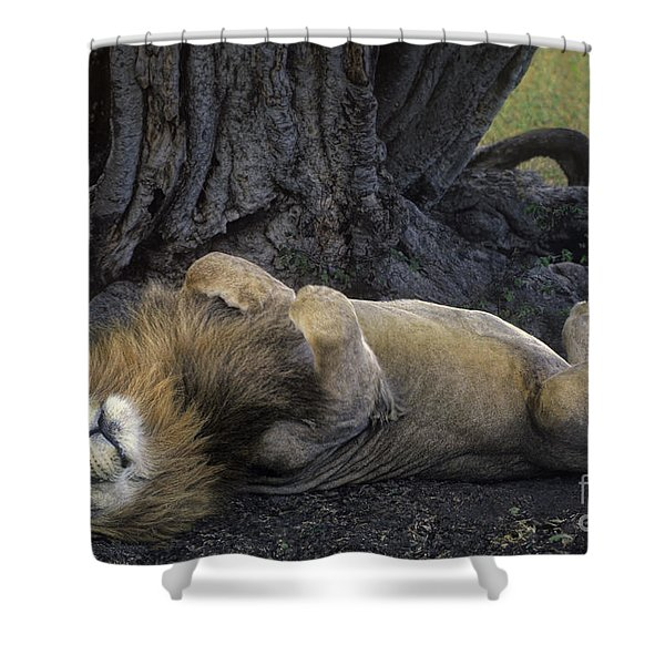 African Lion Panthera Leo Wild Kenya Shower Curtain