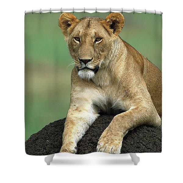 African Lioness Masai Mara Shower Curtain