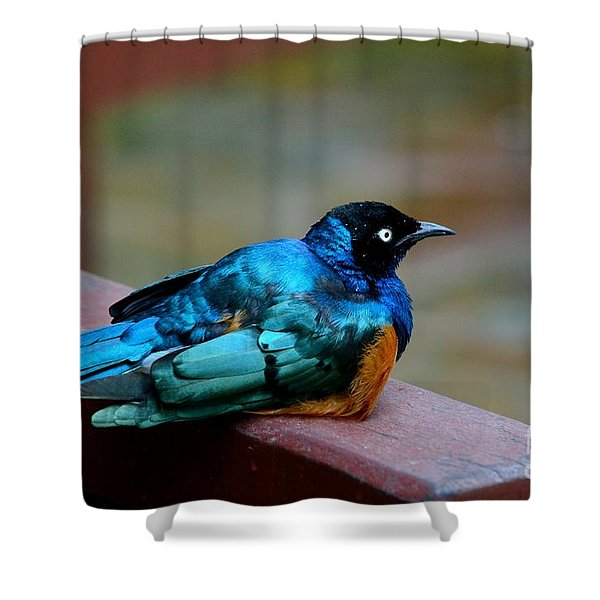 African Superb Starling Bird Rests On Wooden Beam Shower Curtain