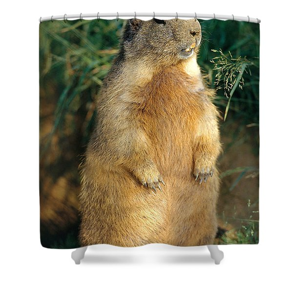 Alpine Marmot Shower Curtain