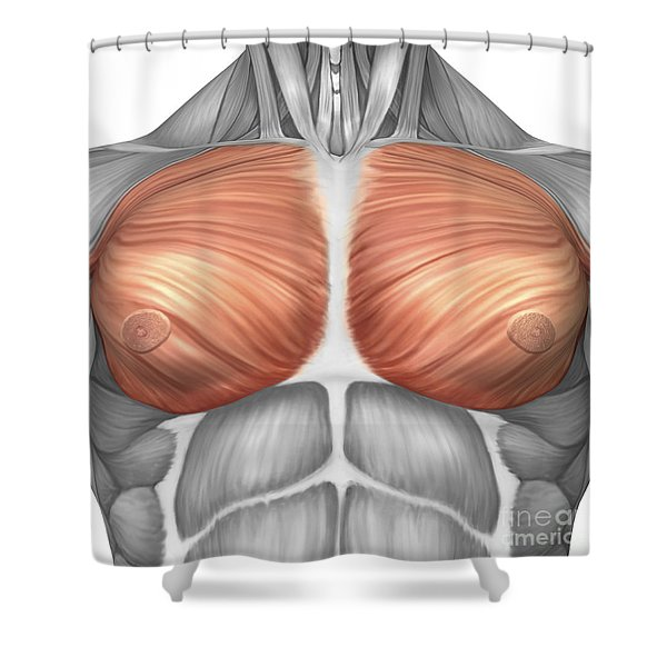 Anatomy Of Male Pectoral Muscles Shower Curtain