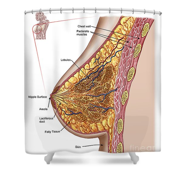 Anatomy Of The Female Breast Shower Curtain