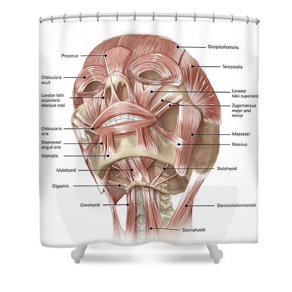 Anterior Neck And Facial Muscles Shower Curtain