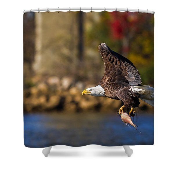 Bald Eagle In Flight Over Water Carrying A Fish Shower Curtain