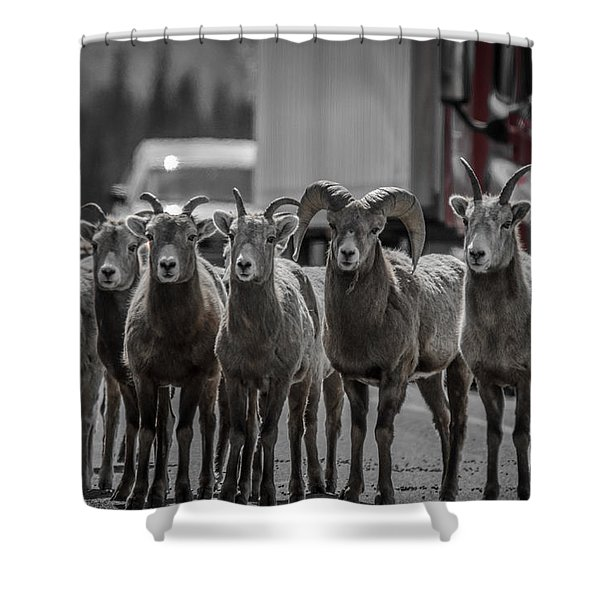 Big Horn Sheep Road Block Shower Curtain