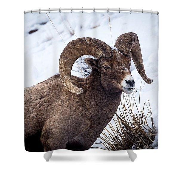 Bighorn Ram Shower Curtain