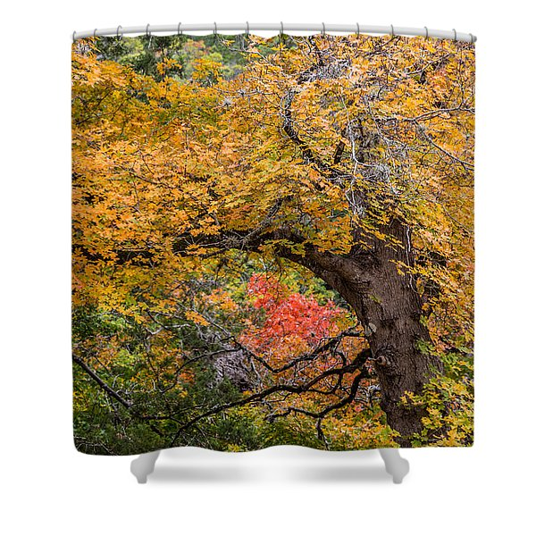 Bigtooth Maples Turning Colors Shower Curtain