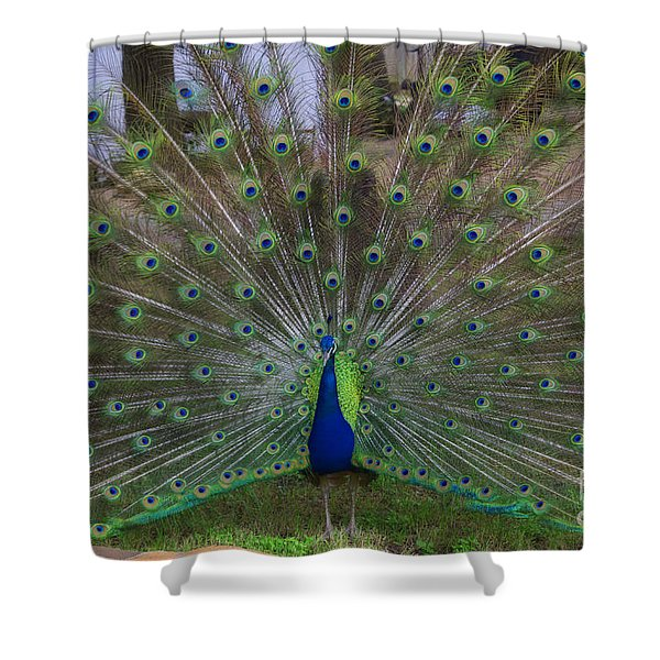 Peacock Strut Shower Curtain
