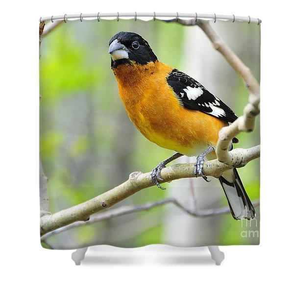Blach-headed Grosbeak Shower Curtain