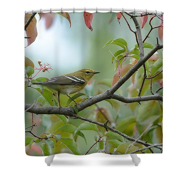 Blackpoll Warbler In The Fall Shower Curtain