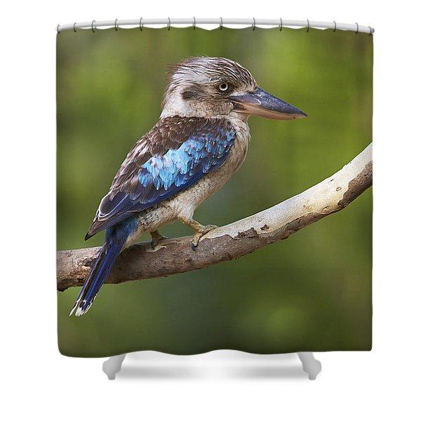 Blue-winged Kookaburra Queensland Shower Curtain