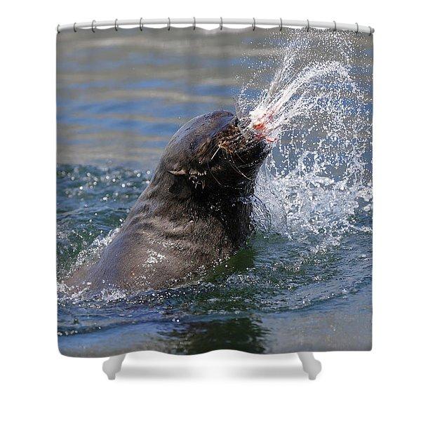 Brown Fur Seal Throwing A Fish Head Shower Curtain