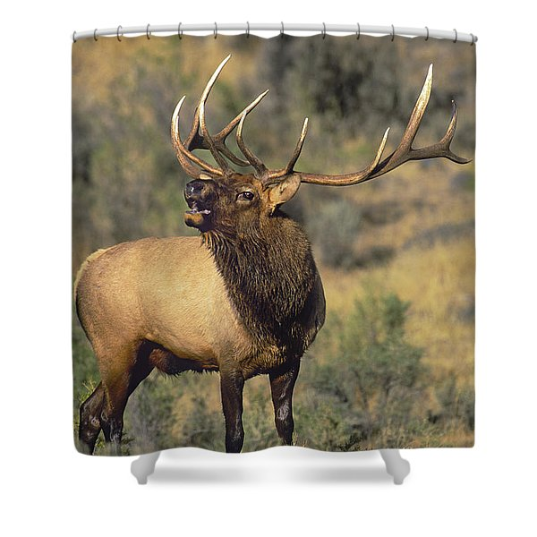 Bull Elk In Rut Bugling Yellowstone Wyoming Wildlife Shower Curtain