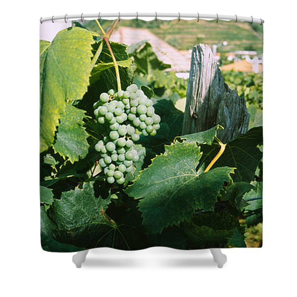 Bunch Of Grapes In A Vineyard, Sao Shower Curtain
