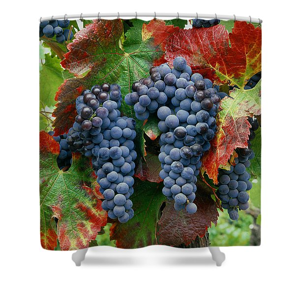 5b6374-cabernet Sauvignon Grapes At Harvest Shower Curtain
