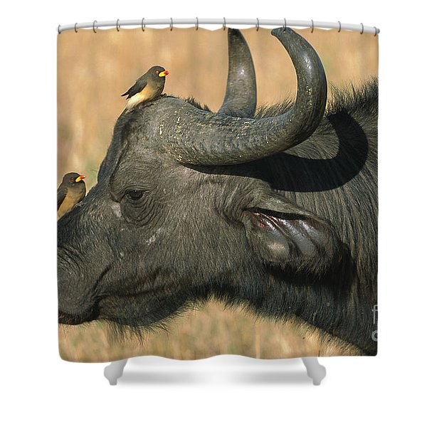 Cape Buffalo And Oxpeckers Shower Curtain