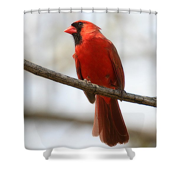 Cardinal On Branch Shower Curtain