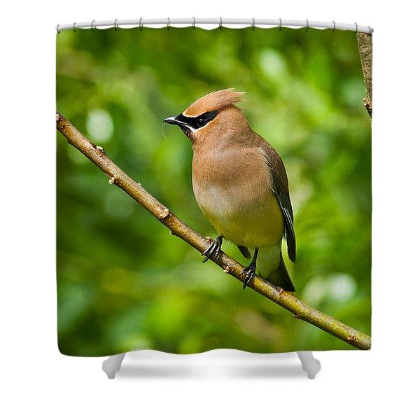 Cedar Waxwing Gathering Nesting Material Shower Curtain