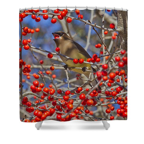 Cedar Waxwing In The Act Of Swallowing A Possumhaw Fruit Shower Curtain