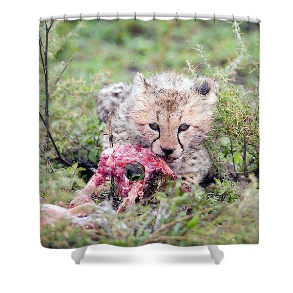 Cheetah Cub Acinonyx Jubatus Eating Shower Curtain